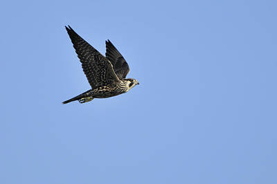Falcon Photograph - Falcon In Flight by Bradford Martin