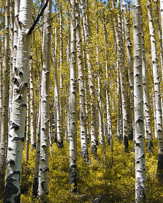 Aspen Photograph - Fall Aspens by Adam Romanowicz