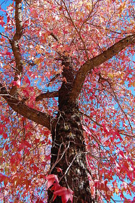 Placerville Photograph - Fall Colored Maple by Debra Thompson