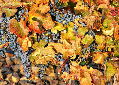 Fall Grapes Print by Carol Groenen