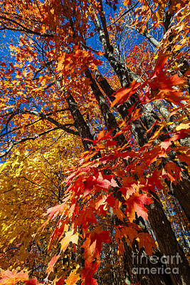 Fall Maple Forest Print by Elena Elisseeva