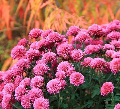 Of Autumn Photograph - Fall Mums by Dan Sproul