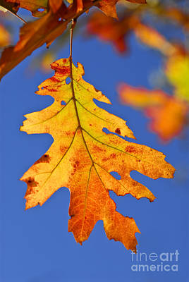 Colored Background Photograph - Fall Oak Leaf by Elena Elisseeva