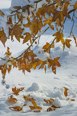 Branch Photograph - Fall Snow On Maple by Scott Campbell