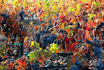 Light Through Fall Vineyard Print by Carol Groenen