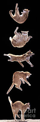 Highspeed Photograph - Falling Cat by Jean-Michel Labat