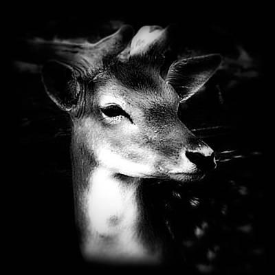 Deer Portrait Black And White Print by Maggie Vlazny