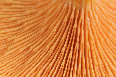 Striking Photograph - False Chanterelle Gills Abstract by Nigel Downer