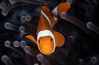 Clown Fish Photograph - False Clownfish by Ethan Daniels