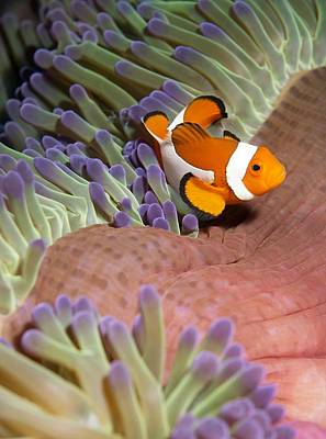 Clown Fish Photograph - False Clownfish In Sea Anemone by Science Photo Library