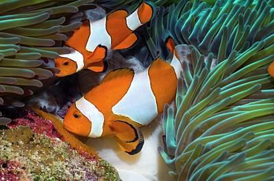 Anthozoa Photograph - False Clownfish Spawning by Georgette Douwma
