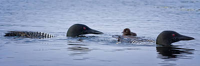 Loon Photograph - Family Swim by Jeff Sinon