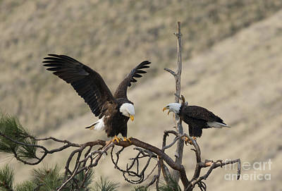 American Bald Eagle Photograph - Family Talk by Mike Dawson