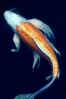 Goldfish Photograph - Fantail Koi 2 by Rebecca Cozart