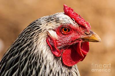 Farm Chicken Close-up Print by Gary Whitton