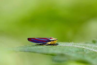 Fashion Bug - Leafhopper Print by  Andrea Lazar