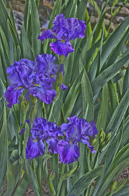 Faux Painted Irises Print by Penny Lisowski