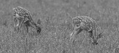 Photograph - Fawns Bnw by Jahred Allen