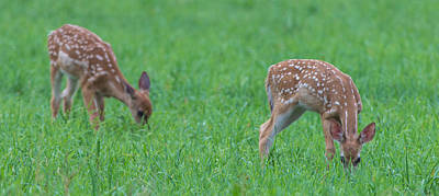 Photograph - Fawns by Jahred Allen