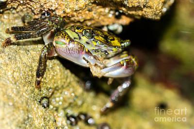 Feasting Crab Print by Michelle Burkhardt