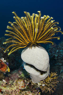 Day Lilly Photograph - Feather Star On Rainbow Reef Fiji by Pete Oxford