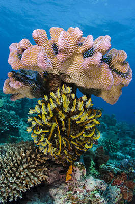 Day Lilly Photograph - Feather Star Rainbow Reef Fiji by Pete Oxford