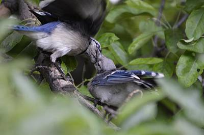 Baby Bluejay Photograph - Feeding The Baby Jay 1 by Rae Ann  M Garrett