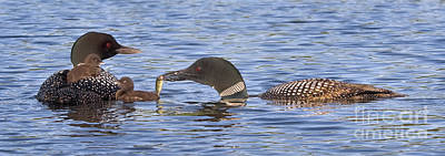 Loon Photograph - Feeding Time For Loon Chicks by Jim Block