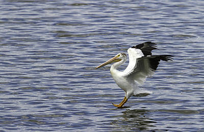 Lone Pelican Photograph - Feet First by Thomas Young