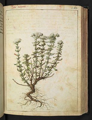 Felty Germander (teucrium Polium) Print by British Library