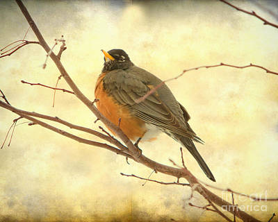 American Robin Photograph - Female American Robin by James BO  Insogna