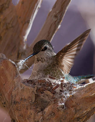 Hummingbird Photograph - female Annas hummingbird on nest by Rob Travis