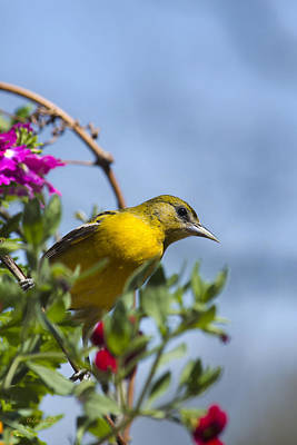 Oriole Photograph - Female Baltimore Oriole In A Flower Basket by Christina Rollo