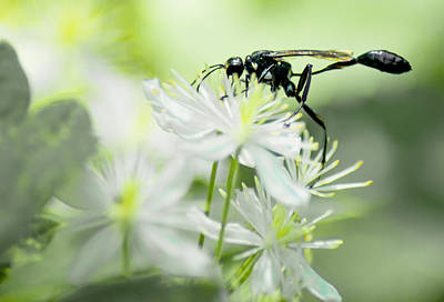 Female Black Mud Dauber Print by Optical Playground By MP Ray