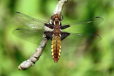 Darter Photograph - Female Broad-bodied Chaser by Colin Varndell