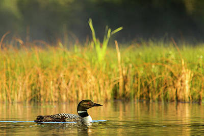 Common Loon Photograph - Female Common Loon With Newborn Chick by Chuck Haney