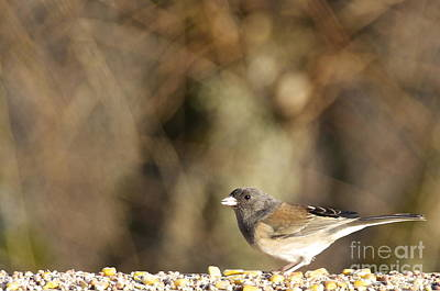 Washington Photograph - Female Dark-eyed Junco by Sean Griffin