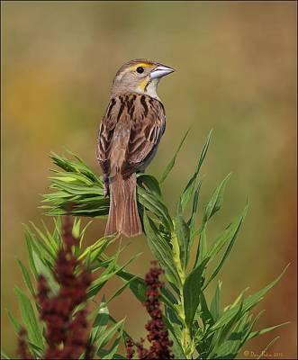 Birds Photograph - Female Dickcissel by Daniel Behm