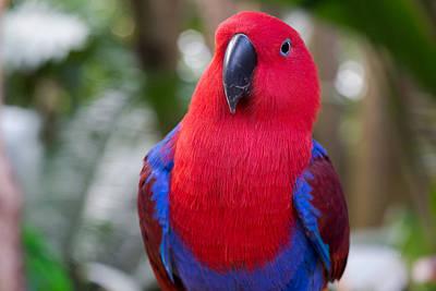 Pause Photograph - Female Eclectus Parrot Portrait by Eti Reid