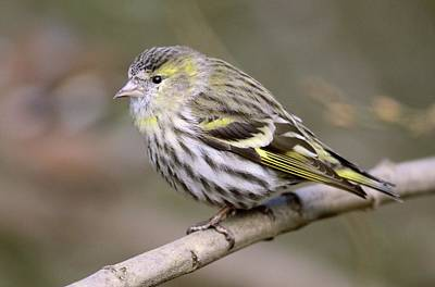 Siskin Photograph - Female Eurasian Siskin On A Branch by Colin Varndell