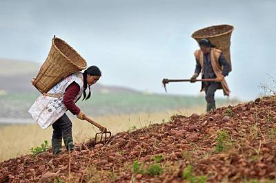 Female Farm Workers Harvesting Potatoes Print by Tony Camacho