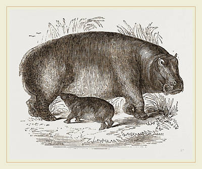 Hippopotamus Drawing - Female Hippopotamus And Young by Litz Collection