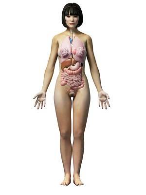 Internal Organs Photograph - Female Internal Organs by Sebastian Kaulitzki