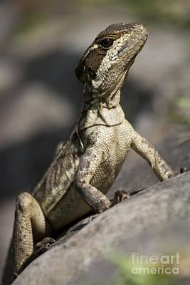 Animals Photograph - Female Jesus Lizard by Heiko Koehrer-Wagner