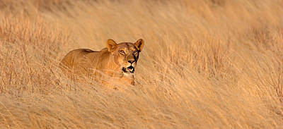 Leo Photograph - Female Lion Panthera Leo Moving by Panoramic Images