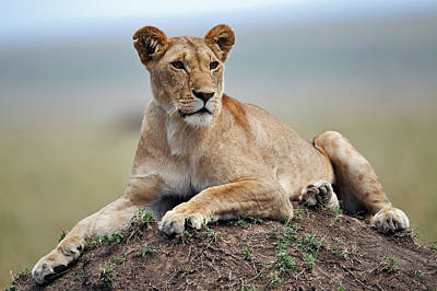 Adam Photograph - Female Lion Resting On Termite Mound by Adam Jones