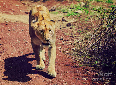 Adult Photograph - Female Lion Walking. Ngorongoro In Tanzania by Michal Bednarek