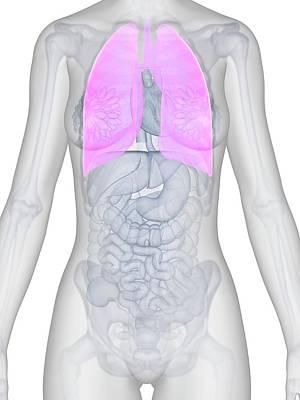 Human Internal Organ Photograph - Female Lungs by Sebastian Kaulitzki