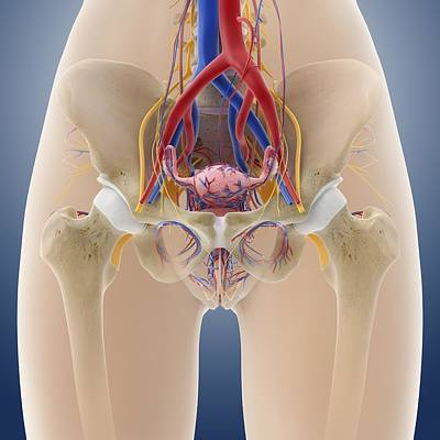 Female Pelvic Anatomy, Artwork Print by Science Photo Library