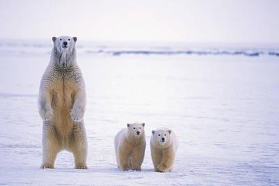 Bear Photograph - Female Polar Bear Standing With Her Two by Steven Kazlowski